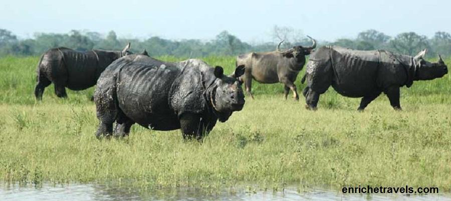 Rhino_assam
